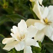 Fragrant Shrubs for PNW Gardens